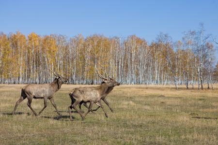 bugle: Deers are running