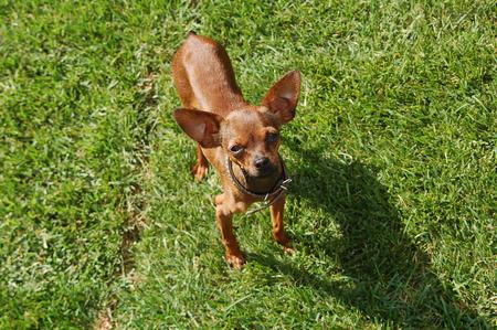 toyterrier: Toy-terrier on grass Stock Photo