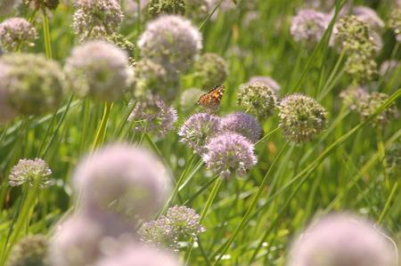 nectars: Butterfly on clover