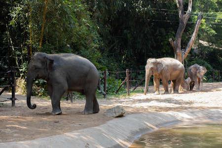 Three elephants walk near a pond in the zoo