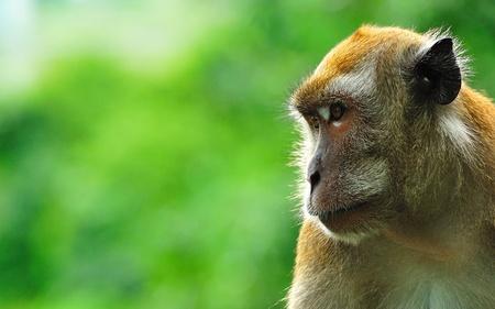 gaze: aap met soulvolle blik
