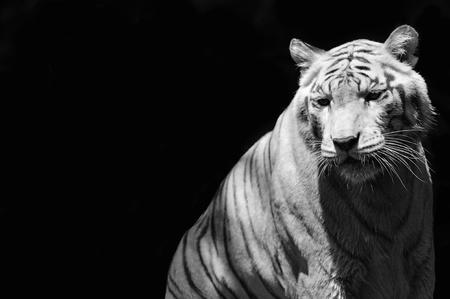 portrait d'un tigre (b & w) Banque d'images