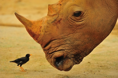 oxpecker: A rhino looking at an oxpecker, also known as a tick-bird, which helps eats the ticks on itself