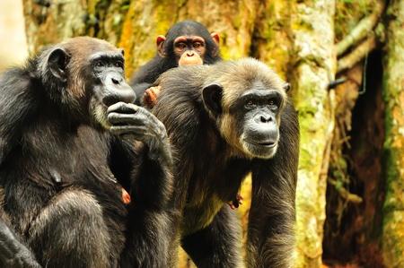 apes: Family Stock Photo