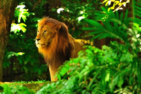 lion king: Lion King Stock Photo