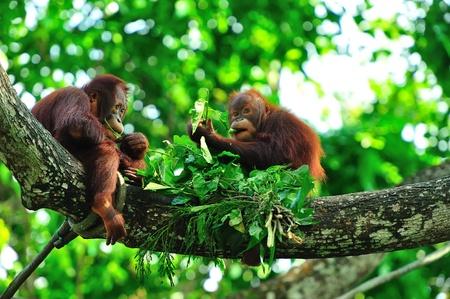 orangutang: Picnic Stock Photo