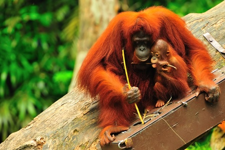 orangutang: Madonna & Child Stock Photo