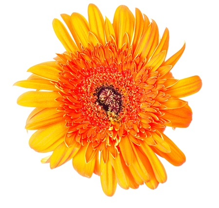Flower Gerbera Stock Photo - 9625975