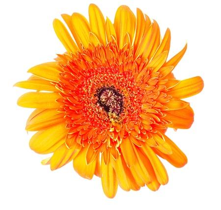 Flower Gerbera Stock Photo - 9625975