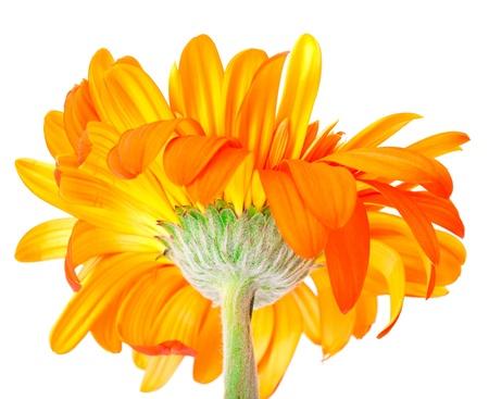 Flower Gerbera photo
