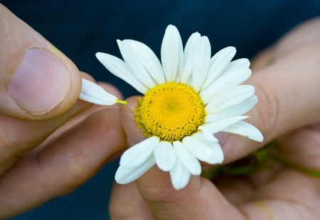 Guessing on a camomile Stock Photo