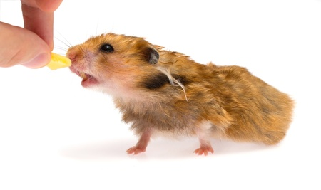 hamster with piece of cheese isolated on white photo