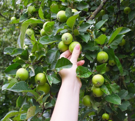 The hand breaks green apples in a garden Stock Photo - 9978942