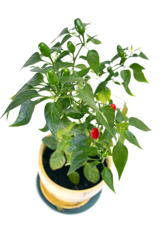Red pepper bunch on white Stock Photo - 10048216