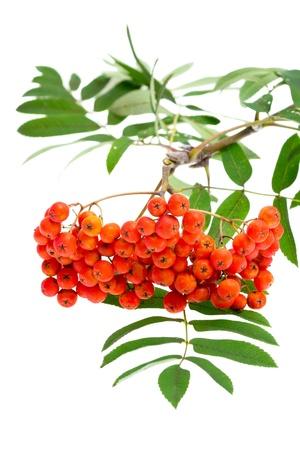 ash tree: bacche di sorbo e foglie su bianco
