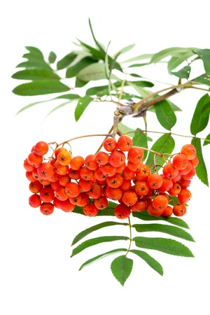 rowan berries and leaves on white photo