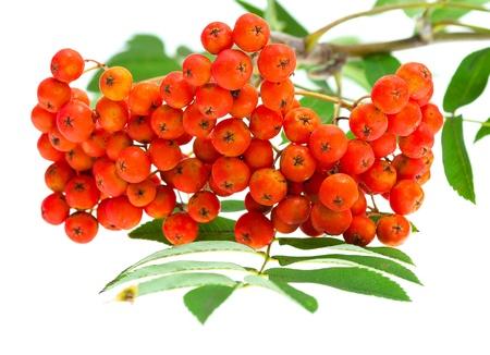 rowan berries and leaves on white photo