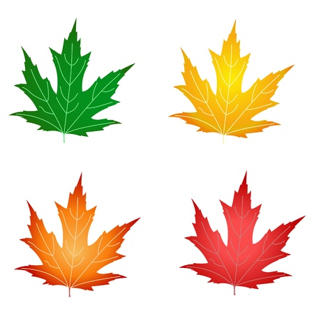 sycamore: Red, green, yellow and orange leaves. Vector illustration. Illustration