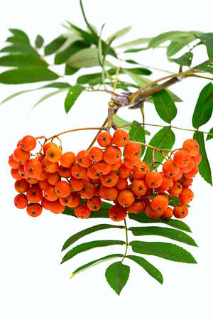 Rowan berries and leaves on white background photo