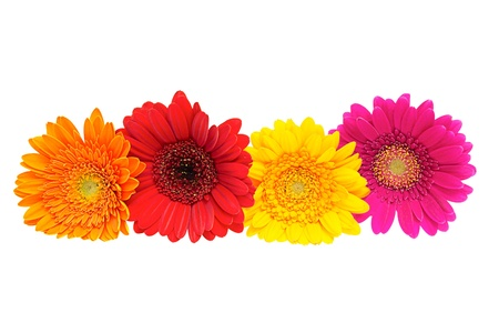 white daisy: Four Gerber Daisy isolated on white background
