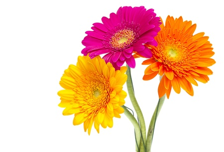 closeup of pink daisy with: Gerber Daisy isolated on white background