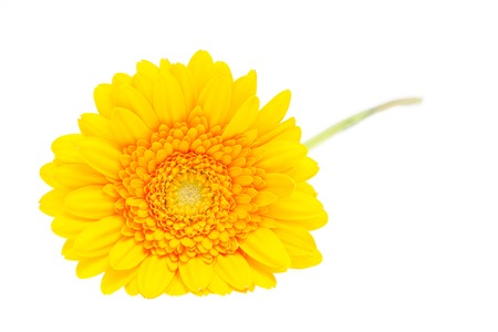 Gerber Daisy isolated on white  photo