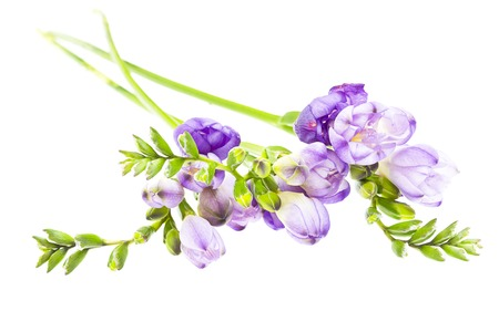 The branch of freesia with flowers, buds photo