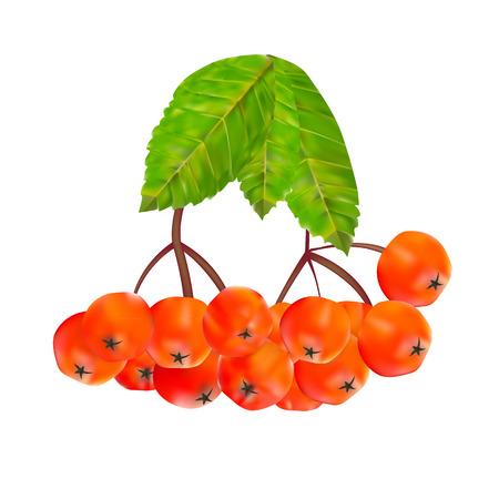 rosaceae: Rowan Berries and Leaves Vector Illustration