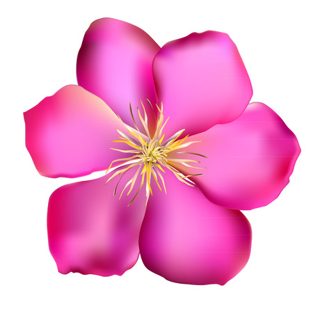 clematis: Pink Clematis Vector Illustration