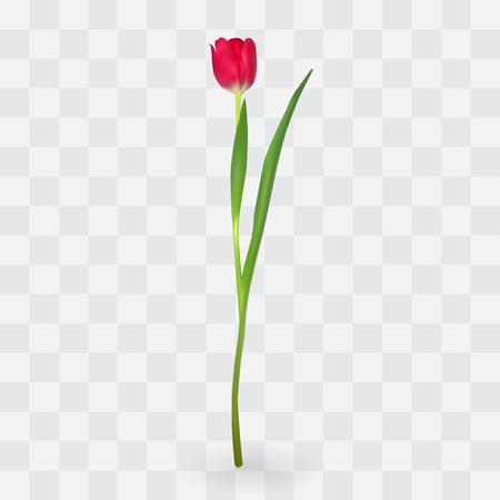 Beautiful tulips on transparent background. Vector Illustration. EPS10 Stock Illustratie