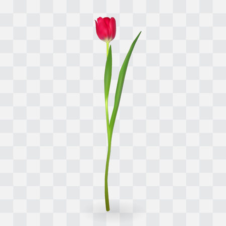Beautiful tulips on transparent background. Vector Illustration. EPS10 Illustration