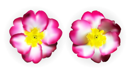 Colorful naturalistic pink white yellow primula isolated. Vector Illustration. EPS10