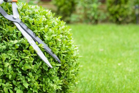 Hands are cut bush clippers in garden.