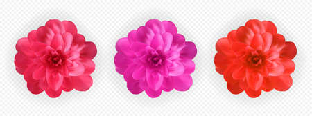 Set of Colorful naturalistic blossoming pink, red and purple camellia flower on tranparent background. Vector Illustration. Vector Illustratie