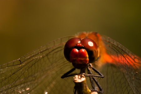 sympetrum vulgatum: Staring at the eyes of a sympetrum dragonfly  sympetrum vulgatum