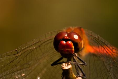 vulgatum: Staring at the eyes of a sympetrum dragonfly  sympetrum vulgatum