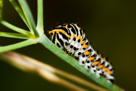 lepidopteran: Close up of a swallowtail caterpillar  papilio machaon  on a branch of dill Stock Photo