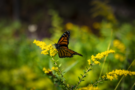 Monarch butterfly close up on a yellow flower