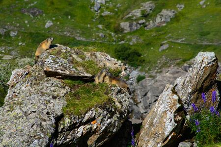 Groundhog familly in the french Pyrenees