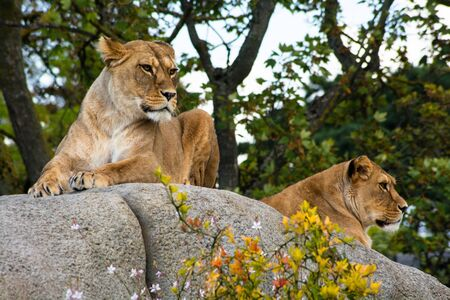 Lioness watching for prey