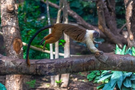 Gold tamarind foot Saguinus bicolor hopping on a branch Zdjęcie Seryjne - 134751980