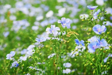 The field of lint flowers photo
