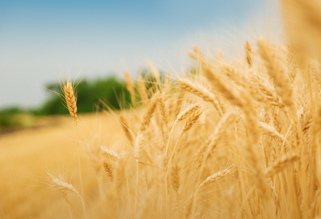 Yellow grain ready for harvest growing in a farm field photo