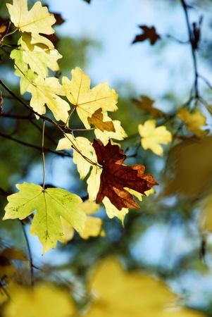 Maple yellow leaves in sunbeams