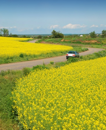 Yellow field with oil seed rape, in early spring