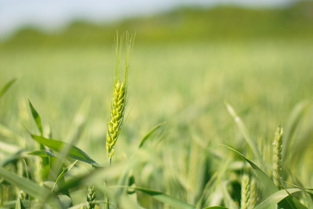 A closeup view of a full head of rye grain growing in a field. Stock Photo