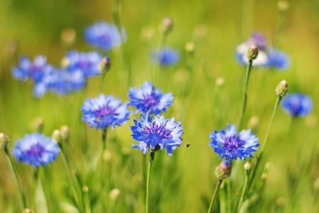 fiordaliso: Fiordalisi blu su sfondo verde