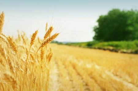 cultivo de trigo: Grano amarillo listo para la cosecha que crece en una granja de campo