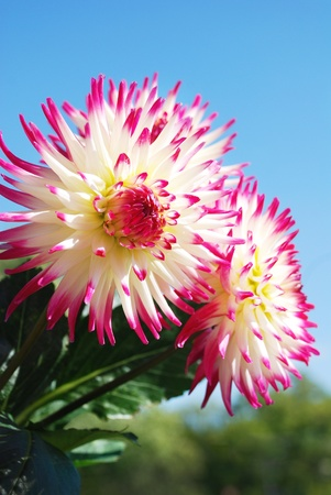 Red and white dahlia flowers
