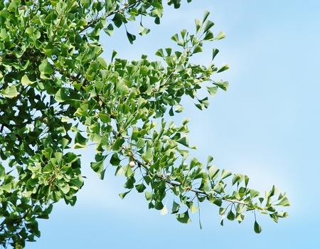 Branch of ginkgo biloba tree  Stock Photo